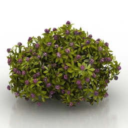 Flower Daphne odora Aureomarginata 3d model