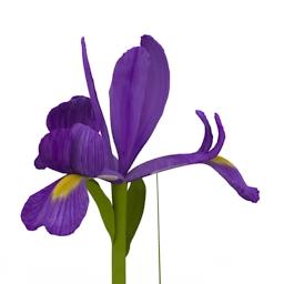 Flower Blue Iris 3d model download