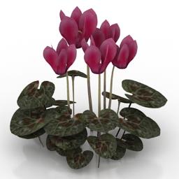 Flower Cyclamen 3d model