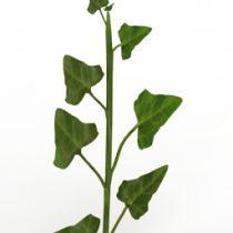 Plant Ivy 3d model