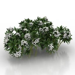 Flower Daphne susannae Lawrence Crocker 3d model