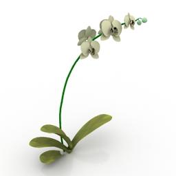 Flower Phalaenopsis Orchid 3d model
