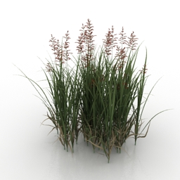 Grass Zizania caduciflora 3d model