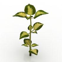 Plant Coleus 3d model
