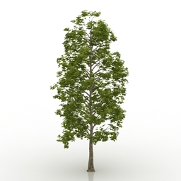 Maple Platanoides Think 3d model