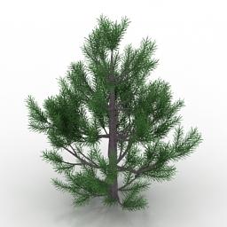 Pinus strobus 3d model